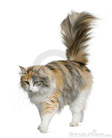 Norwegian Forest Cat, 3 years old
