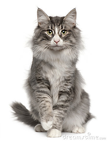 Free Norwegian Forest Cat, 5 Months Old, Sitting Royalty Free Stock Images - 17598059
