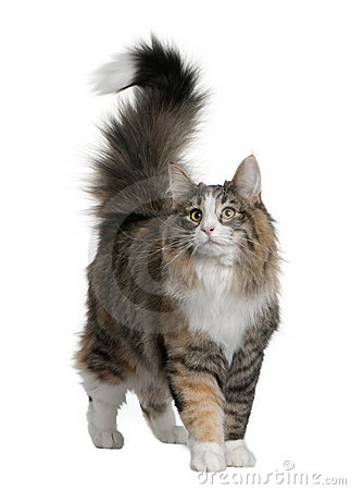 Free Norwegian Forest Cat (8 Months Old) Royalty Free Stock Photo - 13666585