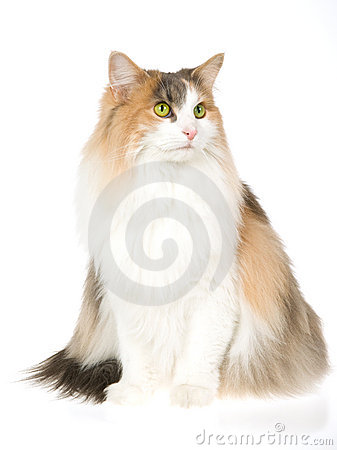 Free Norwegian Forest Cat, On White Background Royalty Free Stock Photo - 10443915
