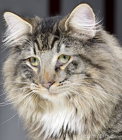 Norwegian Forest Cat portrait
