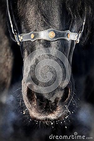 Nose of black horse close-up