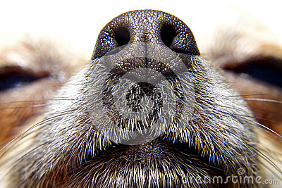 Nose of dog