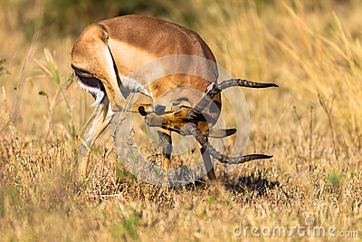 Nose Face Scratch Impala Buck