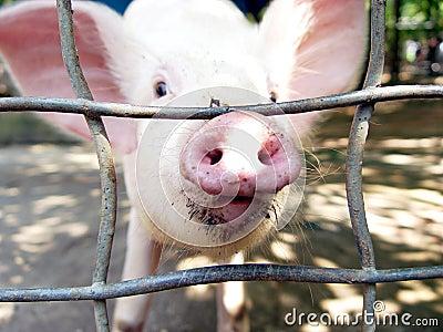 Nosey Pig