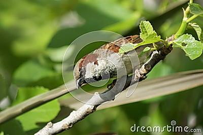Nosey sparrow