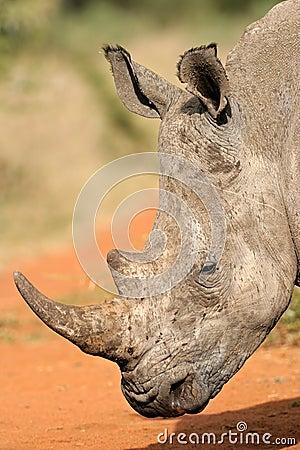 Noshörningwhite