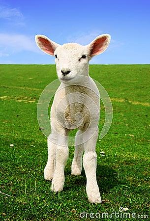 Nosiness Lamb