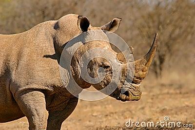 Nosorożec white