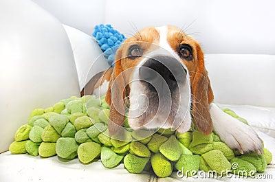 Nosy Beagle dog