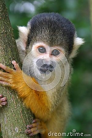 Free Nosy Squirrel Monkey Stock Image - 173541