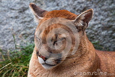 Not Really Mountain Lion Cougar