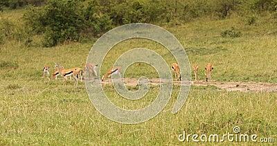 Nourriture Des Cerfs Dans Les Prairies Kenya Afrique clips vidéos