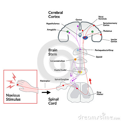 Noxious stimulus to cerebral cortex diagram