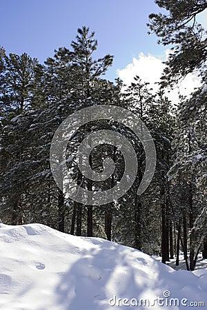 Nube d abbaglio di Sun nella foresta di inverno