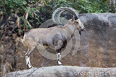 Nubian的高地山羊