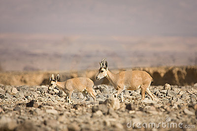 Nubian小的高地山羊