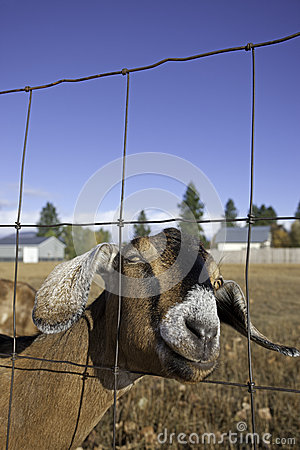 Free Nubian Goat Portrait. Royalty Free Stock Photo - 27303925