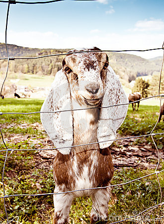 Free Nubian Goats In Spring Royalty Free Stock Photo - 19289285