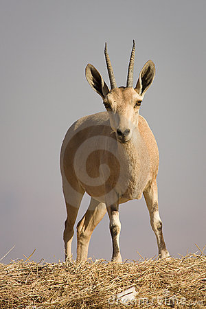 Free Nubian Ibex Stock Photos - 10434093