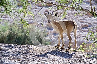 Nubian ibex capra