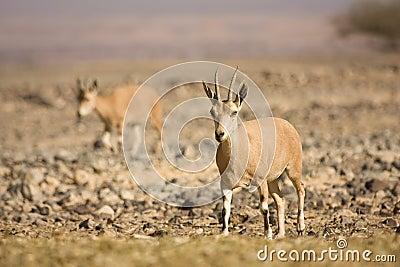 Nubian Ibex goat on desert