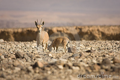 Nubian Ibex goat with young