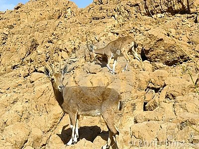The Nubian ibex in Judean Desert