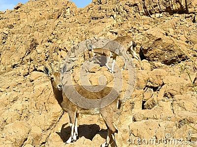 The Nubian ibex in Judean Desert