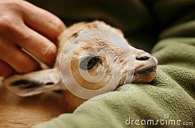 Nubian Ibex kid