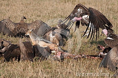 Nubian vulture chasing jackle from kill