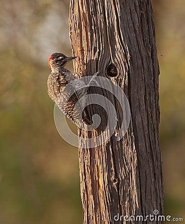 A Nubian Woodpecker at work