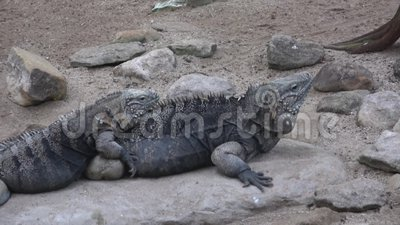 Nubila cubano de Cyclura da iguana da rocha vídeos de arquivo