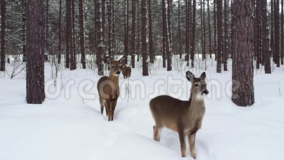 Two Deer in Winter Forest Backdrop stock video footage