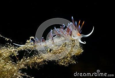 Nudibranch (Cratena peregrina)