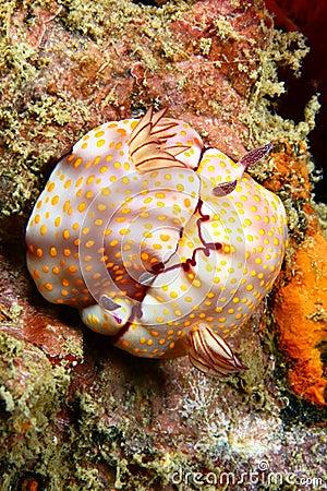 Nudibranch mating