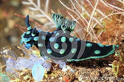 Nudibranch, Nembrotha cristata