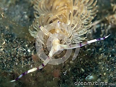 Nudibranch pteraeolidia janthina