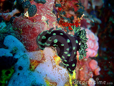 Nudibranch at verde island