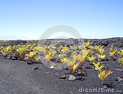 Nueva arboleda del coco, isla grande, Hawaii