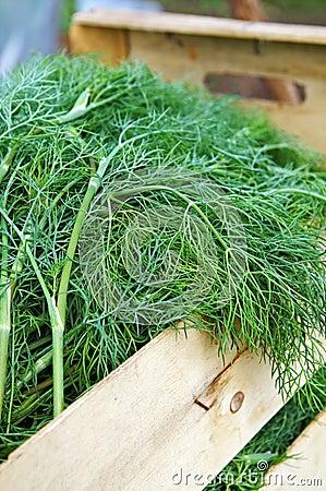 Nueva cosecha del eneldo en un rectángulo de madera del jardín