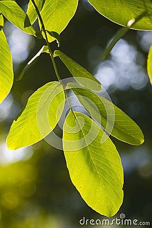 Nuevas hojas del verde