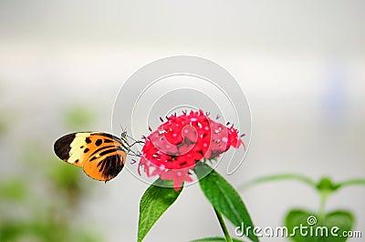 Numata Longwing Butterfly
