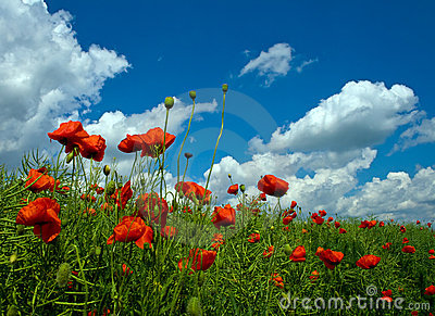 Numerous red poppies on green field
