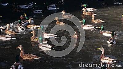 Nuotata delle anatre nello stagno Anatra selvatica stock footage