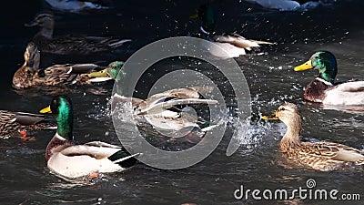 Nuotata delle anatre nello stagno Anatra selvatica video d archivio