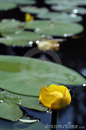 Free Nuphar Lurea Royalty Free Stock Images - 2415779