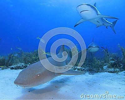 Nurse Shark and Caribbean Reef Shark