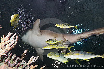 Nurse shark and Pilotfish