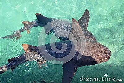 Nurse Shark swimming in caribbean sea